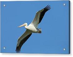 White Pelicans In Flight, Pelecanus Acrylic Print