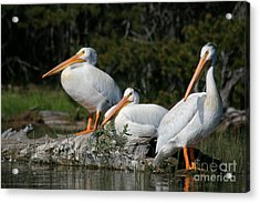 White Pelicans Relaxing In The Sun Acrylic Print