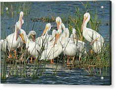 White Pelicans Resting Among Acrylic Print