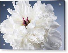 White Peony Flower  Acrylic Print by Elena Elisseeva