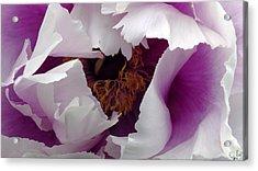 White Peony With Purple Acrylic Print by Sascha Kolek