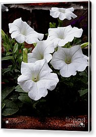 Acrylic Print featuring the photograph White Petunia Blooms by James C Thomas