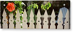 White Picket Fence And Red Hibiscus Acrylic Print