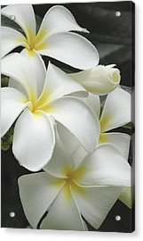 White Plumaria Acrylic Print by Paul Miller