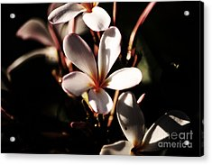 White Plumeria Acrylic Print by Angela DeFrias
