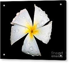 White Plumeria Or Frangipani Flower With Raindrops On Black Acrylic Print by Valerie Garner