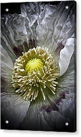 White Poppy Acrylic Print by Frank Tschakert