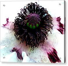 White Poppy Macro Acrylic Print by The Creative Minds Art and Photography