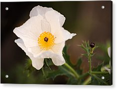 White Prickly Poppy Acrylic Print by Thomas Pettengill