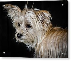 White Puppy Acrylic Print