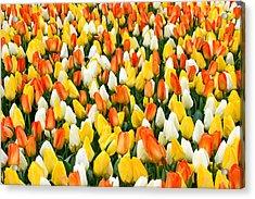 White Orange And Yellow Tulips Acrylic Print by Menachem Ganon