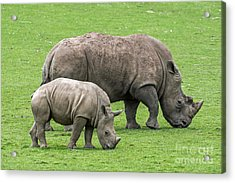 White Rhino 8 Acrylic Print