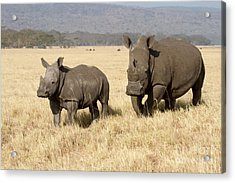 White Rhino Calf Acrylic Print by Chris Scroggins