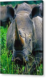 Acrylic Print featuring the photograph White Rhino by Dennis Cox WorldViews