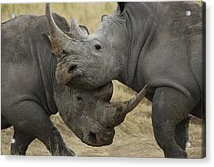 White Rhino Males Fighting Solio Game Acrylic Print