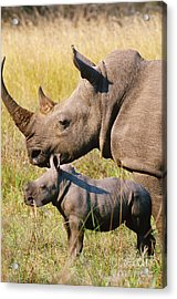 White Rhino Mother And Young Acrylic Print