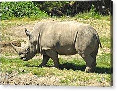 White Rhinoceros Grazing Acrylic Print by CML Brown