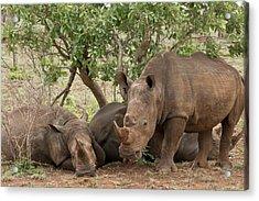 White Rhinos Resting Acrylic Print