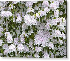 White Rhododendron Blossoms Acrylic Print by Rob Sherwood