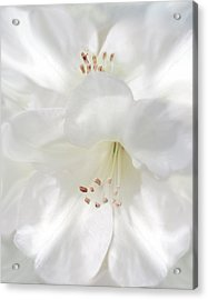 White Rhododendron Flowers Acrylic Print by Jennie Marie Schell