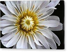 White Dandelion - White Rock Lettuce Acrylic Print