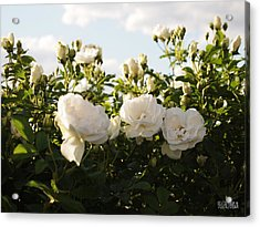 White Rosa Rugosa Acrylic Print by Beverly Brown