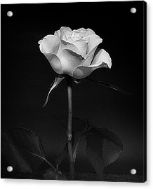 Acrylic Print featuring the photograph White Rose #02 by Richard Wiggins