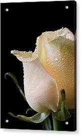 White Rose Close-up Acrylic Print