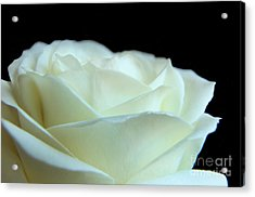 White Avalanche Rose Acrylic Print by Eden Baed