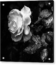 Acrylic Print featuring the photograph White Rose Full Bloom by Darryl Dalton