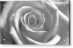 Acrylic Print featuring the photograph White Rose Glooming by Silke Brubaker