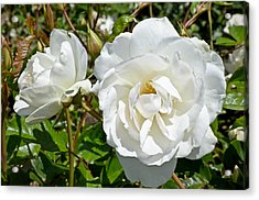 Acrylic Print featuring the photograph White Rose by Jon Exley