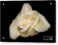 White Rose Acrylic Print by Michael Waters