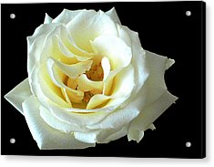White Rose Number One Acrylic Print