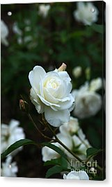 White Rose Acrylic Print