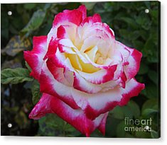 White Rose With Pink Texture Hybrid Acrylic Print