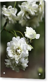 Acrylic Print featuring the photograph White Roses by Joy Watson