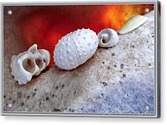 White Seashells And Purple Conch  Acrylic Print by Danielle  Parent