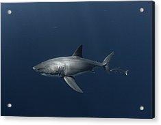 White Shark With Fish Acrylic Print by David Valencia