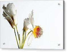 White Sparmannia Africana Plant. Acrylic Print