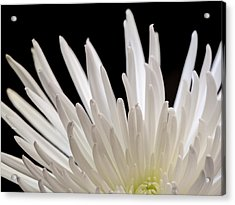 White Spider Mum On Black Acrylic Print