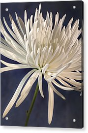 White Spider Mum On Blue Acrylic Print