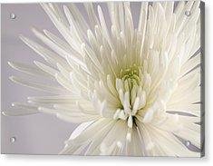 White Spider Mum On White Acrylic Print