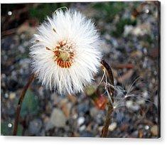 White Spring Wildflower Acrylic Print by Patricia Januszkiewicz