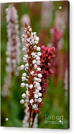 White Stalk Flower Acrylic Print