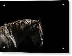 White Stallion - Black Background Acrylic Print by Ryan Courson Photography