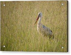Acrylic Print featuring the photograph White Stork by Antonio Jorge Nunes