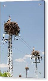 White Storks Nesting Acrylic Print