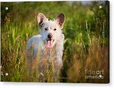Single White Stray Tyke Dog In Meadow  Acrylic Print by Arletta Cwalina