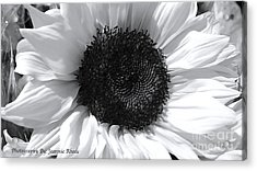 Acrylic Print featuring the photograph White Sunflower by Jeannie Rhode
